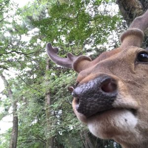 The Bowing Deer of Nara Cove