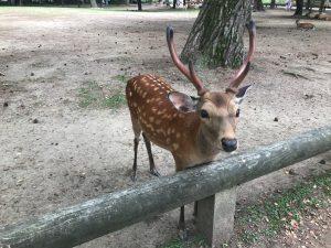 The Bowing Deer of Nara