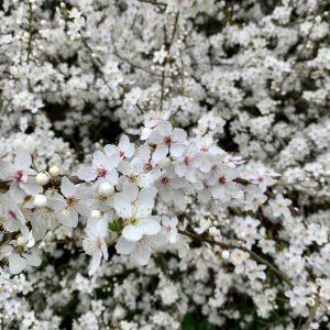 Holland Park Blossom