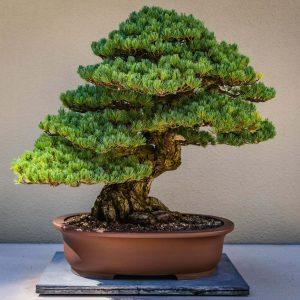 A bonsai tree in a terracotta pot