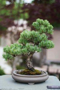 bonsai tree outside